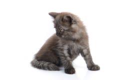 一只小的波斯小猫 图库摄影
