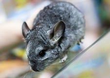 一只小的灰色黄鼠的画象 免版税库存照片