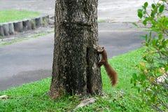 一只小的灰鼠在城市公园 库存图片