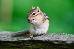 一只小的灰鼠拿着一枚小坚果 免版税库存图片