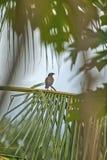 一只小的热带鸟坐在令人敬畏的棕榈树叶子之间 免版税图库摄影