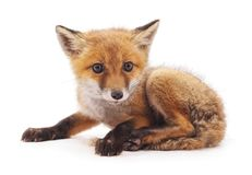 一只小的狐狸 图库摄影