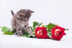 一只小的猫看英国兰开斯特家族族徽 holida的一件美妙的礼物 库存图片