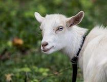 一只小的白色山羊有绿色背景看照相机 免版税图库摄影