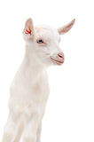 一只小的白色山羊的画象 库存图片