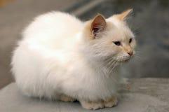 一只小的白色猫在医院庭院居住 免版税图库摄影