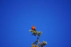 一只小的红色鸟 图库摄影