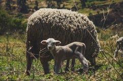 一只小的绵羊和它的母亲 免版税库存图片
