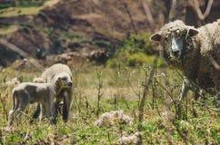 一只小的绵羊和它的母亲 免版税图库摄影