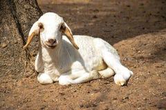 一只小的羊羔 免版税库存图片
