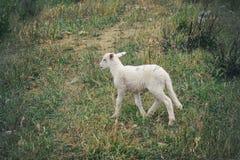 一只小的羊羔 免版税库存照片