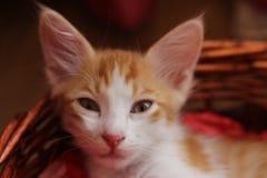 一只小的美丽的红色小猫的面孔在轻便小床的-宠物猫 免版税库存照片