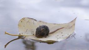 一只小的老鼠在树的一片黄色叶子游泳 股票录像