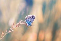 一只小的蓝色蝴蝶坐草叶在被日光照射了的 图库摄影