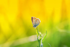 一只小的蓝色蝴蝶坐草叶在被日光照射了的 免版税库存图片