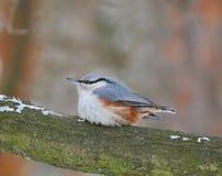 一只小的蓬松鸟,雪,霜 图库摄影