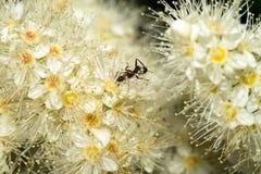 一只小的蚂蚁坐一束白花,并且有花蜜 宏指令 库存图片