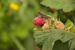 一只小的蚂蚱坐与绿色le的一个红草莓莓果 免版税库存图片