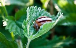 一只小的蜗牛 图库摄影