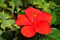 一只小的蝴蝶坐一朵红色木槿花 库存照片