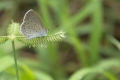 一只小的蝴蝶较少草蓝色 免版税库存图片