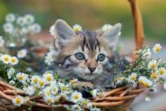 一只小的逗人喜爱的小猫看在与春黄菊花的一个篮子外面 免版税库存图片
