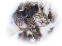 一只小的逗人喜爱的平纹小猫在他的妈妈旁边睡觉 库存图片