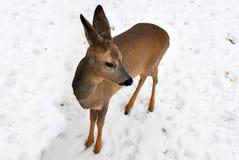一只小的野生小鹿的画象在多雪的背景的 图库摄影