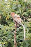 一只小的长鼻猴 免版税库存图片