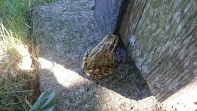 一只小的青蛙 库存照片