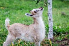 一只小的饥饿的山羊吃从树枝的叶子 山羊是 免版税库存照片