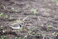 一只小的鸟珩科鸟吃在领域的一只蠕虫 图库摄影