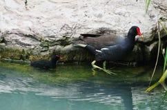 一只小的鸡和birdling雌红松鸡 免版税库存照片