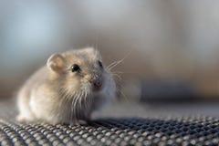 一只小的仓鼠的画象在灰色背景的 免版税库存图片