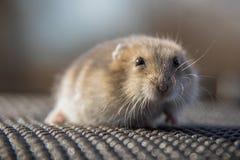一只小的仓鼠的画象在灰色背景的 图库摄影