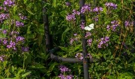 一只小精美白色蝴蝶 免版税库存图片
