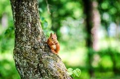 一只小红松鼠坐树并且咬坚果 库存图片