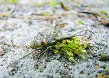 一只小绿色甲虫吃植物夏时 图库摄影
