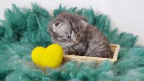 一只小良种小猫和一个黄色心脏特写镜头 4K 股票录像