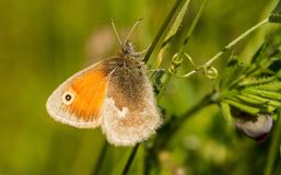一只小荒地蝴蝶坐巢菜属植物 免版税库存图片