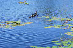 一只小蓝色湖和鸭子 图库摄影