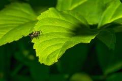 一只小蚂蚁爬行在一片绿色叶子的表面 宏指令 免版税库存照片
