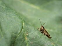 一只小蚂蚱坐圆白菜叶子 库存图片