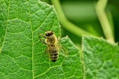 一只小蜂坐一片绿色莓叶子在庭院里 图库摄影