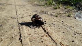 一只小褐色从容不迫的锅牛上升在他的壳外面 在一条含沙乡下公路的谎言 影视素材