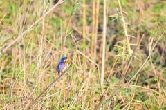 一只小逗人喜爱的五颜六色的翠鸟的特写镜头 免版税库存图片