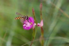一只小野生蜂的宏指令在寻找食物的桃红色花的 图库摄影