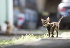 一只小镶边灰色小猫站立与一条被上升的尾巴在背后照明的一个晴天 免版税库存照片