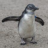 一只小非洲企鹅的画象在沙子,德国的 库存图片
