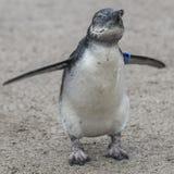 一只小非洲企鹅的画象在沙子,德国的 免版税库存图片